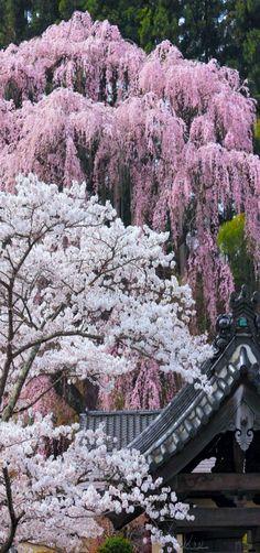 Sakura | Fukuju Temple in Miharu Town, Fukushima, Japan | by Koji Yamauchi