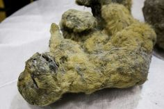 Extinct lion cubs from 12,000 years ago FOUND after being preserved in ice  The lion cubs are thought to have been a week or two old
