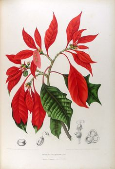 Fleurs, fruits et feuillages choisis de la flore et de la pomone de l' Ile de Java peints d'après nature par Madame Berthe Hoola van Nooten. Troisieme edition   Berthe HOOLA VAN NOOTEN
