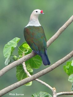 The Red-knobbed Imperial Pigeon (Ducula rubricera) is a bird species in the family Columbidae. It is found in Papua New Guinea and Solomon Islands.
