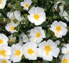 Buy white rock rose Cistus salviifolius Prostratus plants - Kelways