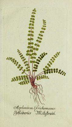 Jarhg.3 (1790) - Plantarum indigenarum et exoticarum icones ad vivum coloratae, oder, Sammlung nach der Natur gemalter Abbildungen inn- und ausländlischer Pflanzen, für Liebhaber und Beflissene der Botanik / - Biodiversity Heritage Library