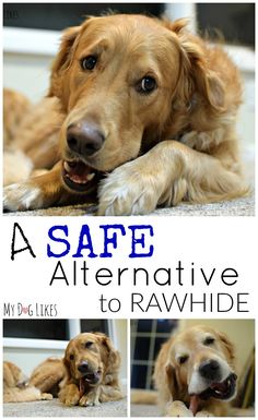 All dogs love to chew, but did you know that many common dog chews like rawhide are potentially dangerous? See @MyDogLikes review of Raw Paws Pet Food Bully Sticks and see why we think these are a safe and satisfying alternative!
