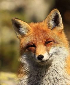 Foxy, fox! ~ This face...he looks like he knows something we don't and he's way too cool for school :)