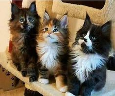 Cute Maine Coon Kittens