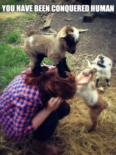 The truth about baby goats. They ALL believe they're mountain goats! Baby goats are so much fun and make good pets, just don't let them hurt you. So Cute Baby, Cute Babies, Animal Captions, Animal Memes, Animal Humour, Funny Captions, Animal Mashups, Funny Animals With Captions, Animal Quotes