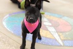 Sunday is an adoptable Shepherd Dog in Seattle, WA. Sunday is the life of the party! She thinks the greatest thing in the world is meeting a new person - old, young, small or tall - she loves them all...