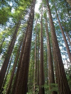 giant redwood sequoia