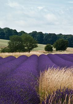 Lavender Fields, Gloucestershire, UK by Gethin Thomas naturally occurring colour combinations