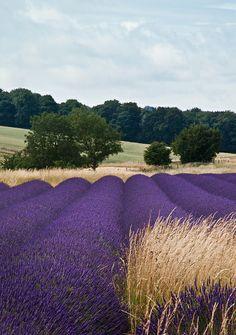 Lavender Fields, Gloucestershire, UK by Gethin Thomas