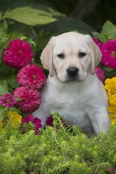 Mind Blowing Facts About Labrador Retrievers And Ideas. Amazing Facts About Labrador Retrievers And Ideas. Labrador Yellow, Labrador Retriever Dog, Labrador Puppies, Labrador Facts, Golden Labrador, Labrador Puppy Training, Dog Training Tips, Labrador Chocolate, Baby Animals