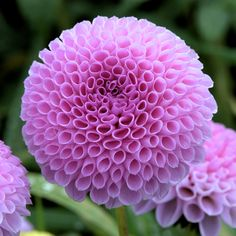 """DAHLIA 'Themis' Use coupon code """"PINME"""" for 40% off all hammocks on our site maderaoutdoor.com"""