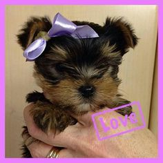 1000 images about yorkie puppies on pinterest yorkie