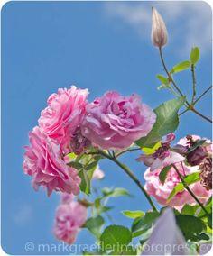 Juni – Rosenmonat