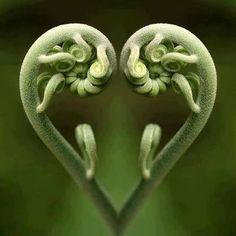 La magie de Fibonacci dans la nature, les maths de Dieu … The magic of Fibonacci in nature, the maths Heart In Nature, Heart Art, Fern Frond, In Natura, I Love Heart, Foto Art, No Photoshop, Sacred Geometry, Amazing Nature