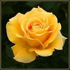 Beautiful Rose Flowers, Love Rose, Exotic Flowers, Amazing Flowers, Beautiful Gardens, Beautiful Flowers, Rose Reference, Rose Flower Wallpaper, Fragrant Roses