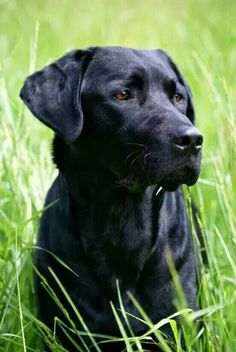 Mind Blowing Facts About Labrador Retrievers And Ideas. Amazing Facts About Labrador Retrievers And Ideas. Labrador Retrievers, Black Labrador Retriever, Golden Retriever, Golden Labrador, Retriever Puppies, Black Lab Puppies, Dogs And Puppies, Corgi Puppies, Labrador Puppies
