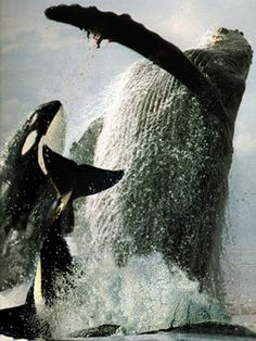 Killer whales attack a humpback whale