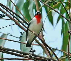 Birds of the World: Cherry-throated tanager