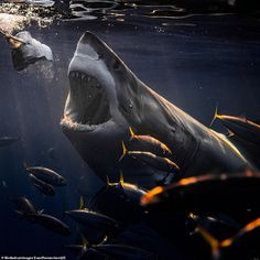 Photo Copyright: Euan Rannachan 🦈 Rannachan wants to move away from Holywood's perception of sharks as man-eating killers and to treat the animals with more respect and admiration. Shark Pictures, Shark Photos, Shark Diving, Shark Swimming, Megalodon, Cool Sharks, Whale Sharks, Deadly Animals, Especie Animal
