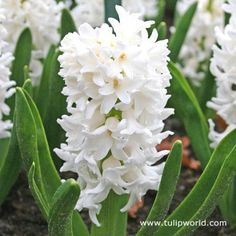 Hyacinth smell beautiful LH