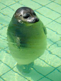 Standing seal -- Hahahaha cute!