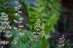 Alumroot and Giant Chain Fern pair well to brighten shady spaces.