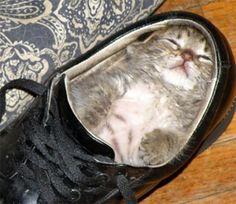 Cat sleeps in shoe