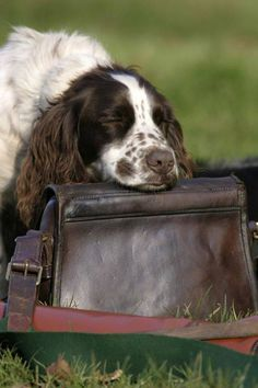"""English Springer Spaniel ~ Classic """"Head Rest"""" Look Springer Spaniel Puppies, English Springer Spaniel, Spaniel Dog, Spaniel Breeds, Chien Springer, Springer Dog, Dog Sling, The Fox And The Hound, Hunting Dogs"""