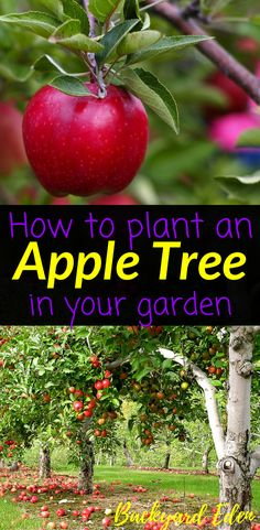 How to plant an apple tree in your garden | Plant an apple tree | Fruit Trees | Gardening | Organic Gardening | Apple Tree | Permaculture | Food Forest | Permaculture Homestead | Homestead | Homesteading | Urban Homesteading | Permaculture Farm | Backyard Permaculture | Permaculture Orchard | Backyard-Eden.com