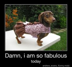 This is what Sophie is thinking when she prances around in her dresses!: Animals, Daschund, Dogs, Stuff, Wiener, Doxies, Funny Animal