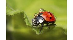This shot of a ladybird covered in raindrops was entered by Mostafa Ghroz in the Royal Photographic Society's International Images for Science competition.