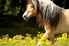 Norwegian fjord horse Most Beautiful Animals, Beautiful Horses, Fjord Horse, Rare Horses, Horse Breeds, Horse Love, Equestrian, Pony, Creatures