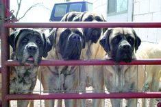 They say Mastiffs are like Fritos: You can't have just one. Here's how to manage a multiple-Mastiff household. Modern Molosser  | www.modernmolosser.com