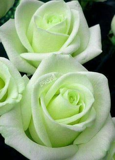 Lovely Enchanting Roses.