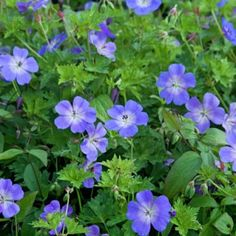 Geranium Rozanne - deer resistant and blooms may till frost