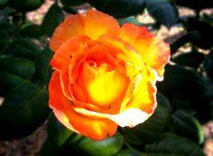 #fiore #rosa #primavera #spring #colors #flower #rose #igers #igeritalia #giardino #natura #insa #instagram #intadaily #instamood #instalike