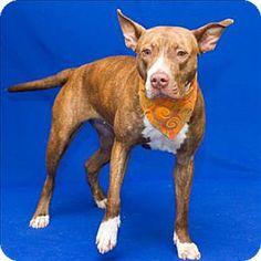 Westland, MI - Pit Bull Terrier Mix. Meet Arcadia, a dog for adoption. http://www.adoptapet.com/pet/11778315-westland-michigan-pit-bull-terrier-mix