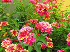Lantana rosada y amarilla - Pink and yellow Lantana