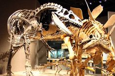 An itinerary on all the places to see dinosaurs in and around Denver! From the Museum of Nature & Science to dinosaur ridge. If you love dinosaurs, Denver is the place to be. The city lies on some of the most fossil-rich land in the world, which means finding a piece of prehistoric history is as easy as walking your dog.