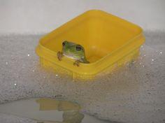 A rare beauty indeed - Hetalia Baby Animals, Funny Animals, Cute Animals, Cute Frogs, Frog And Toad, Frog Frog, Oui Oui, Mellow Yellow, Amphibians