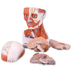 5 Part Head and Neck Musculature Anatomy Model. This includes separate pieces displaying the brain.