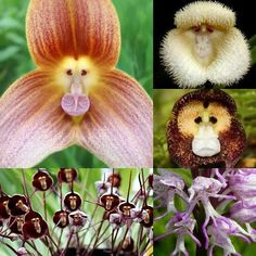the AMAZING Monkey Orchids. These incredible looking flowers are monkey orchids. There are two species shown here, Dracula simia (the ones that look like monkey faces) and Orchis simia (which resemble little dancing monkeys).