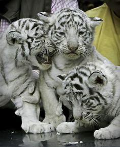 WhiteTiger0155.png 1662x2048x24(RGB) #white #tiger  #animal #endangered #predator #majestic