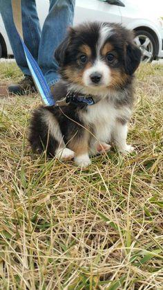 Australian Shepard/ corgi mix; cutest puppy ever