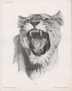 1922 Lion Anatomy Prints Feline Illustrations Lion by Craftissimo