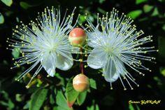 yaban mersini  çiçeği