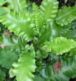 Asplenium scolopendrium 'Undulatum' - start size 45cm - £3.50
