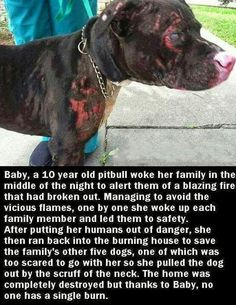 Pitbull is a hero, not a villain. People transforming the pitbulls into a villain, but they still are a God`s creatures with love in her hearts. I Love Dogs, Puppy Love, Cute Dogs, Awesome Dogs, Animals And Pets, Funny Animals, Cute Animals, Brave Animals, Talking Animals