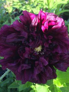 Patty's Plum Oriental Poppy